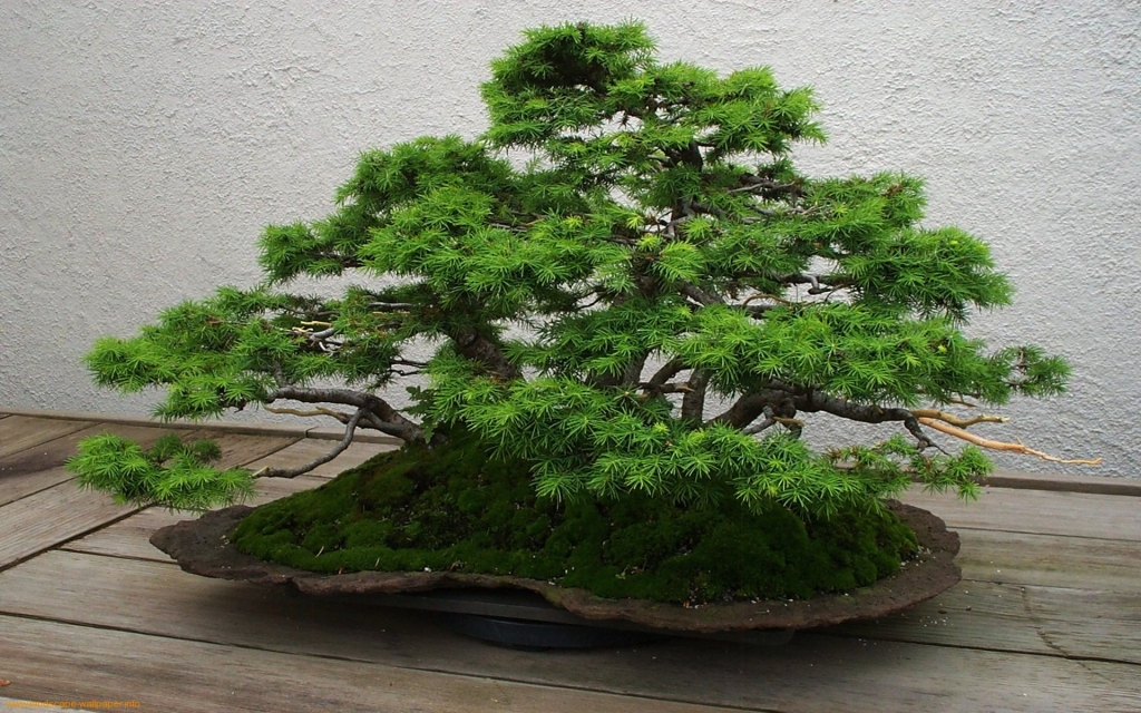 Bonsai_Wallpapers-1(www.CoolWallpapers.org).jpeg