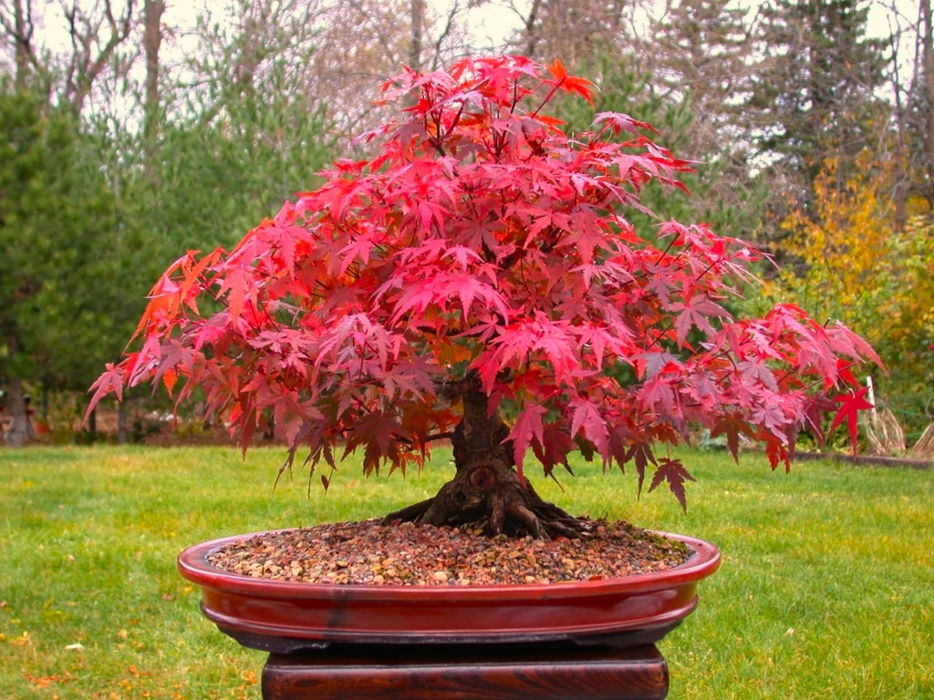 red_maple_Wallpapers_bonsai-4(www.CoolWallpapers.org).jpg